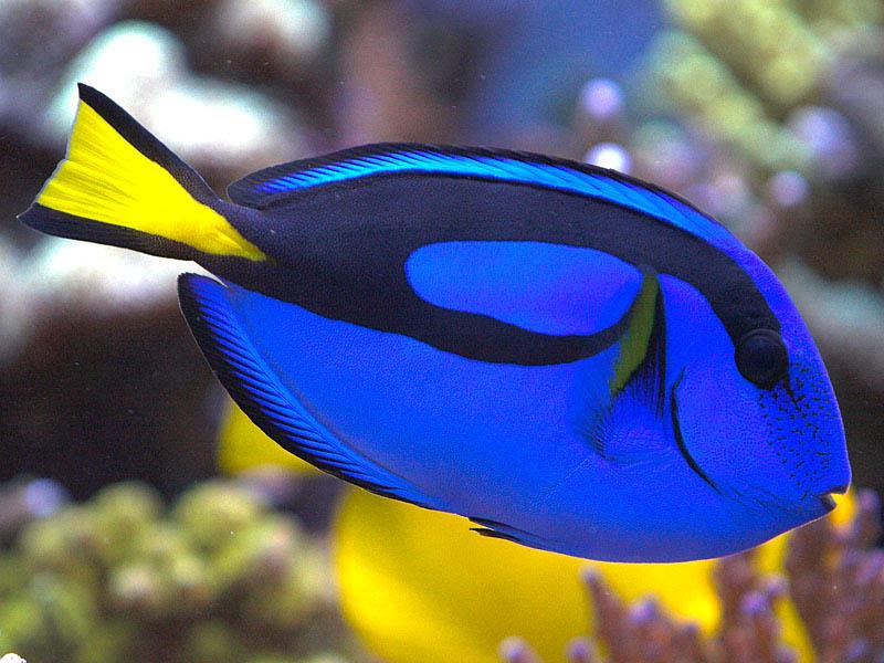 regal tang tee s reef