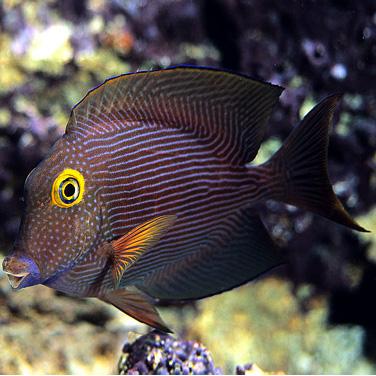 yellow eye tang tee s reef